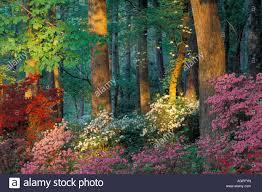 callaway gardens in georgia. USA, Georgia, Callaway Gardens, Azalea Forest Gardens In Georgia
