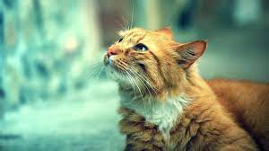 Cat Wallpaper - Orange Cat Wallpaper Hd ...
