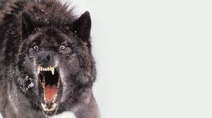 black wolf wallpaper 1280x719