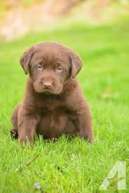 chocolate lab puppies.  Puppies Lab Female Puppies For Sale In Pennsylvania Classifieds U0026 Buy And Sell   Americanlisted To Chocolate Lab Puppies A