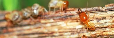Image result for Pros Of Getting A Professional termite control Service