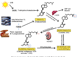 sources of vitamin d and its metabolism in the body