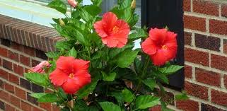 how to grow hibiscus today s homeowner