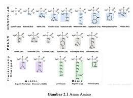 Protein adalah senyawa organik yang kompleks dengan berat molekul tinggi yang terdiri dari asam amino yang terikat oleh ikatan peptida satu sama lain. Protein Pengertian Fungsi Sumber Manfaat Unsur Struktur