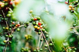 The espiritu santo coffee plantation is located in naranjo, costa rica. Almost Every Coffee Plantation Tour In Costa Rica The Drifty Guide To Costa Rica
