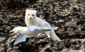 arctic fox facts pictures more