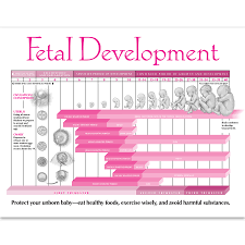 Embryo Chart Growth Fetal Development In Pregnancy Tear Pad Childbirth Graphics