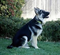 black and silver german shepherd.  And In Black And Silver German Shepherd I