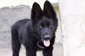 black german shepherd puppies with blue eyes. Perfect Shepherd The Black German Shepherd Photo Gallery For Puppies With Blue Eyes