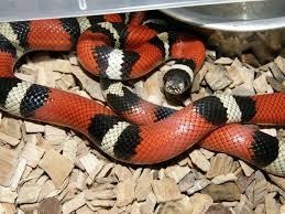 milk snake size milk snake care sheet clubfauna