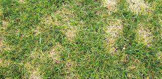 Brown Patch Disease How To Get Rid Of Brown Patches In Your Lawn