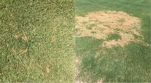 Turf Disease Nmsu Plant Clinic High Humidity Encourages Turf Diseases