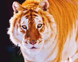 tears of a tiger short summary famous tiger  tears of a tiger essay the center for animal research and