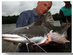 amazon river catfish. Beautiful Catfish Piraiba Catfish Amazon River Monsters With Amazon Catfish A