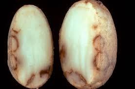 Некроз клубней картофеля ru Некроз клубней картофеля tobacco rattle virus trv