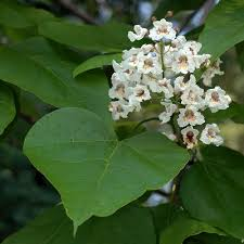 copyright flowers catalpa bignonioides by david g smith