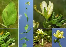 Hypericum montanum L. - Sistema informativo sulla flora vascolare ...