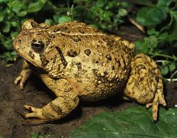Toad And Frog Facts Mdc Discover Nature