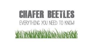 chafer grubs their lifecycle and when to treat them with nematodes
