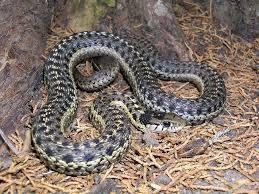 Black Snake With Diamond Pattern Simple Inspiration Ideas