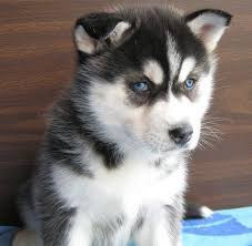 black husky puppies with blue eyes. Unique With White And Black Husky Puppies With Blue Eyes Pictures To With Blue Eyes N
