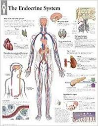 The Endocrine System Chart Wall Chart Scientific