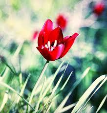 Tulipa cypria - Wikipedia