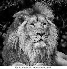 black and white lion portrait. Interesting Black Beautiful Portrait Of Asiatic Lion Panthera Leo Persica In Black And White   Csp50936164 For Black And White Portrait
