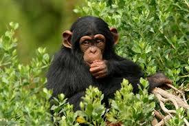Resultado de imagen de imagenes de chimpancés en movimiento