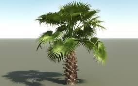 fan palm trees. fan palm trees a