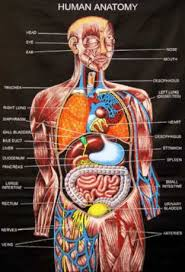 anatomy of body   major arteries of whole body   medical careers    anatomy of body   major arteries of whole body   medical careers   pinterest   human anatomy  anatomy and human body organs