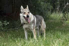 Wolf Vs Dog Size Chart Wolf Dog Full Profile History And Care