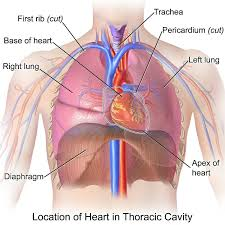The right lung has three lobes, upper, middle and lower. Thoracic Cavity Definition Organs Of Chest Cavity Biology Dictionary