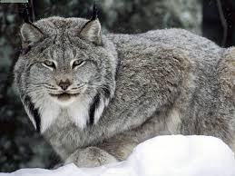 lynx size of lynx traps and lawsuits the rocky road to enlightened wildlife