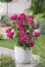 patio garden select breeding