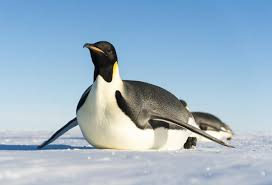 penguin. Brilliant Penguin Is The Emperor Penguin Sliding Towards Extinction  Christopher Michel For P