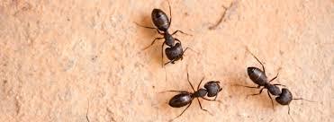 carpenter ant pic. Simple Carpenter Get Rid Of Carpenter Ants With Ehrlich In Carpenter Ant Pic N