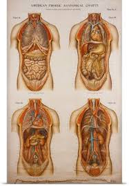American Frohse Anatomical Charts Key Pinterest