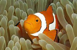 Ocellaris Clownfish In An Anemone Fish Colorful Fish