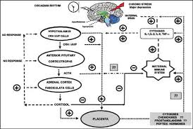 Hpa Axis Hpa Axis Function During The Perinatal Period In Patients With