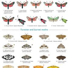 Moth Identification Chart British Butterflies Identification Chart