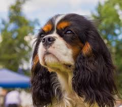 cavaliers dogs. Fine Cavaliers And Cavaliers Dogs L