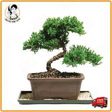 office bonsai. Image Is Loading Brussel-039-s-8-Green-Mound-Outdoor-Juniper- Office Bonsai R