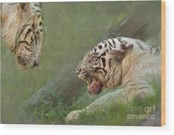 white tiger growling. Unique White White Wood Print Featuring The Photograph Tiger Growling At Her Mate  By Louise Heusinkveld To A