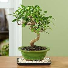 golden gate ficus bonsai add bonsai office interior