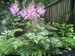 Shade Garden Design Zone 4 Plant Of The Week 12 Bohemian Rose Designs