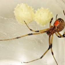 Spiders In South Africa Species Pictures