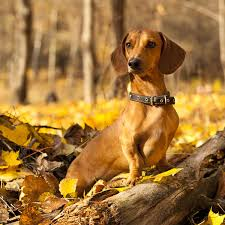 a dachshund is a small dog that doesn t shed much