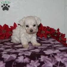 a morkie poo puppy named timothy