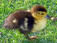 Duck Wikipedia